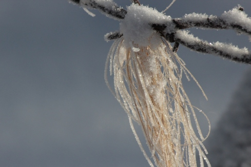horse hair on barbed wire with frost