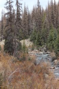 beetle kill along lost trail creek