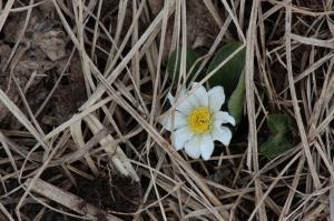 elkslip spring flower