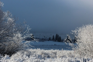 snowy willows in morning