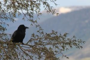spring raven