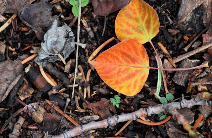 orange aspen leaves