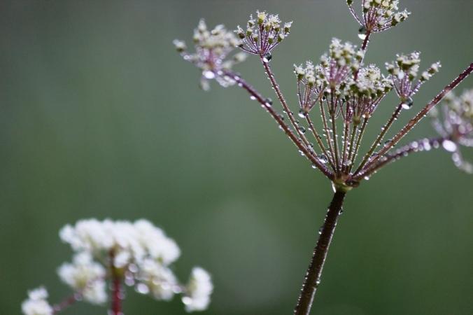 rain on white flower