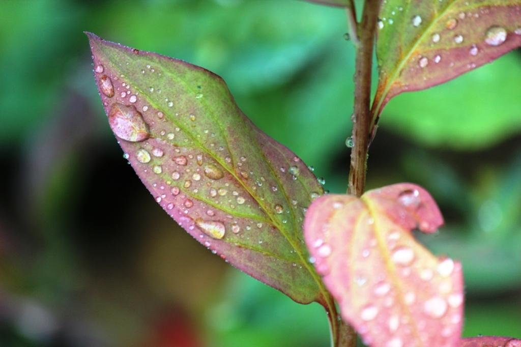 morning rain on turning leaves 2