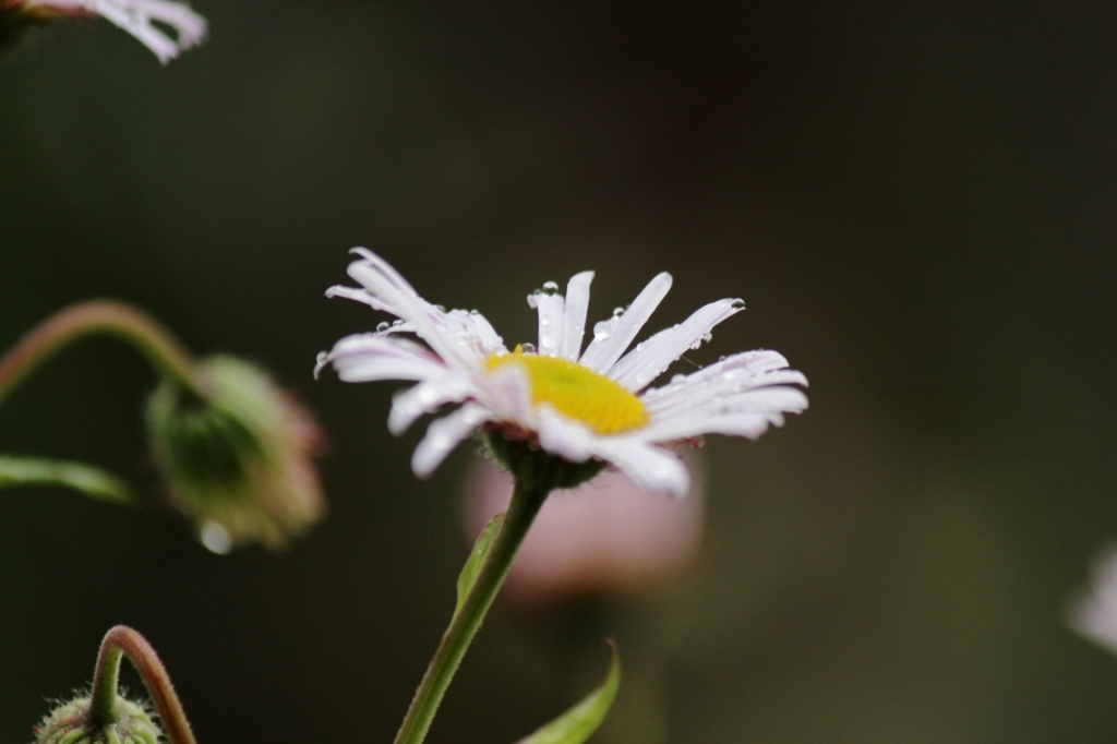 morning rain on white flower