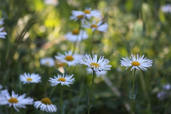 sunny white flower