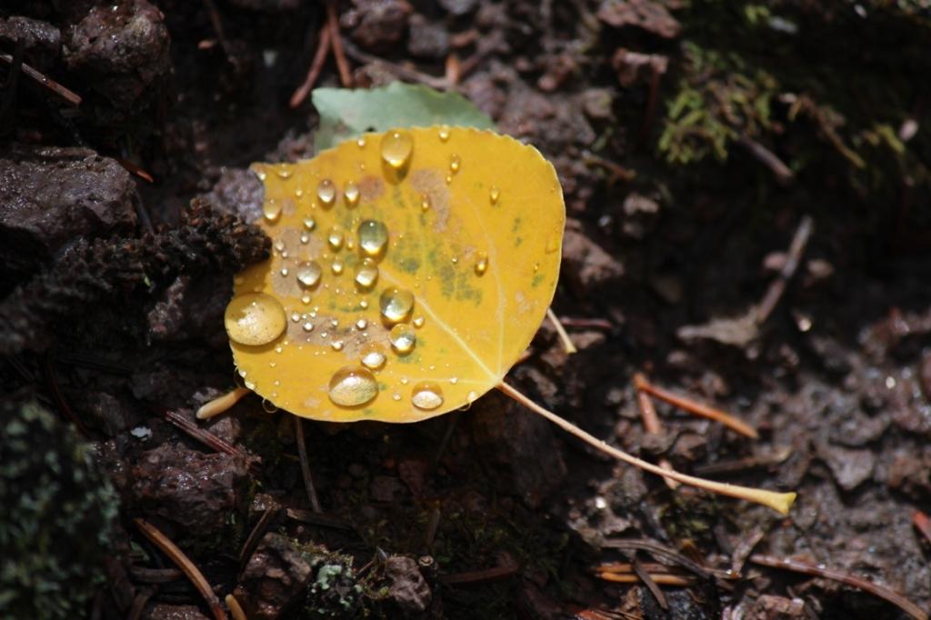 aspen leaf 3
