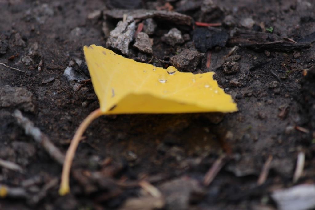 aspen leaf 4