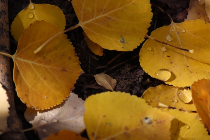 aspen leaves and melted snow