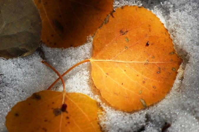 aspen leaves in snow 2