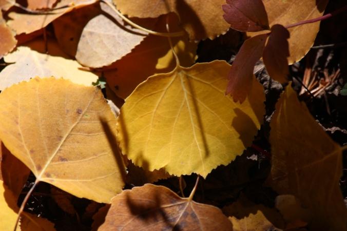 aspen leaves on ground