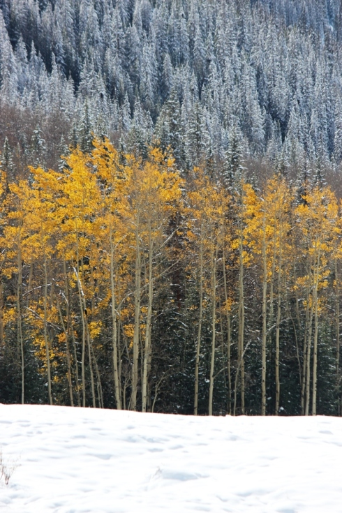 last of aspen in early snow