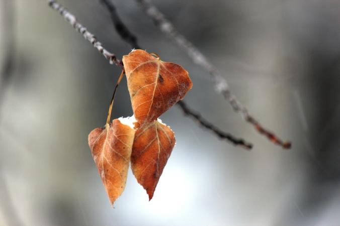 aspen leaves in snowstorm 2