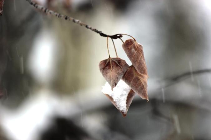 aspen leaves in snowstorm 3