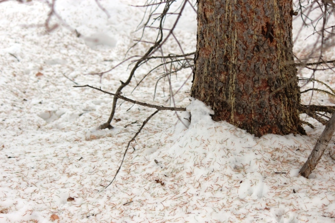 needles on the snow