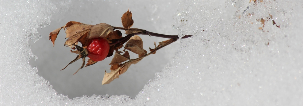rose hip in snow