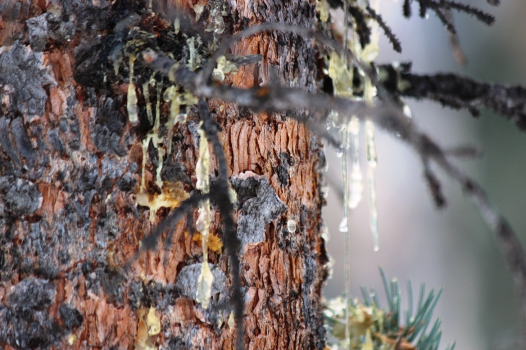 sap and slipping bark