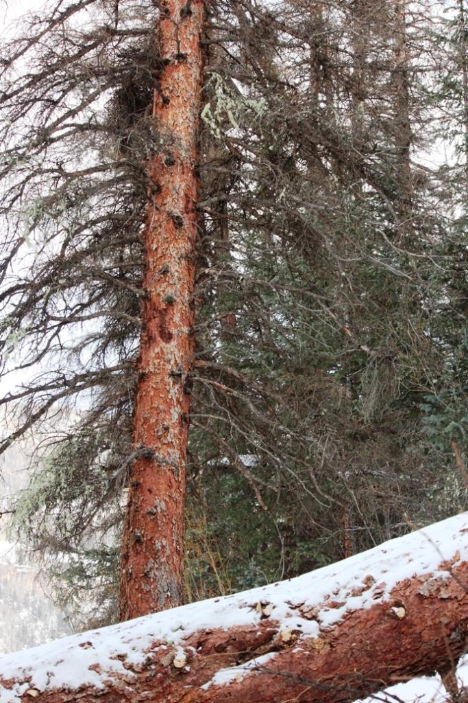 big dead trees
