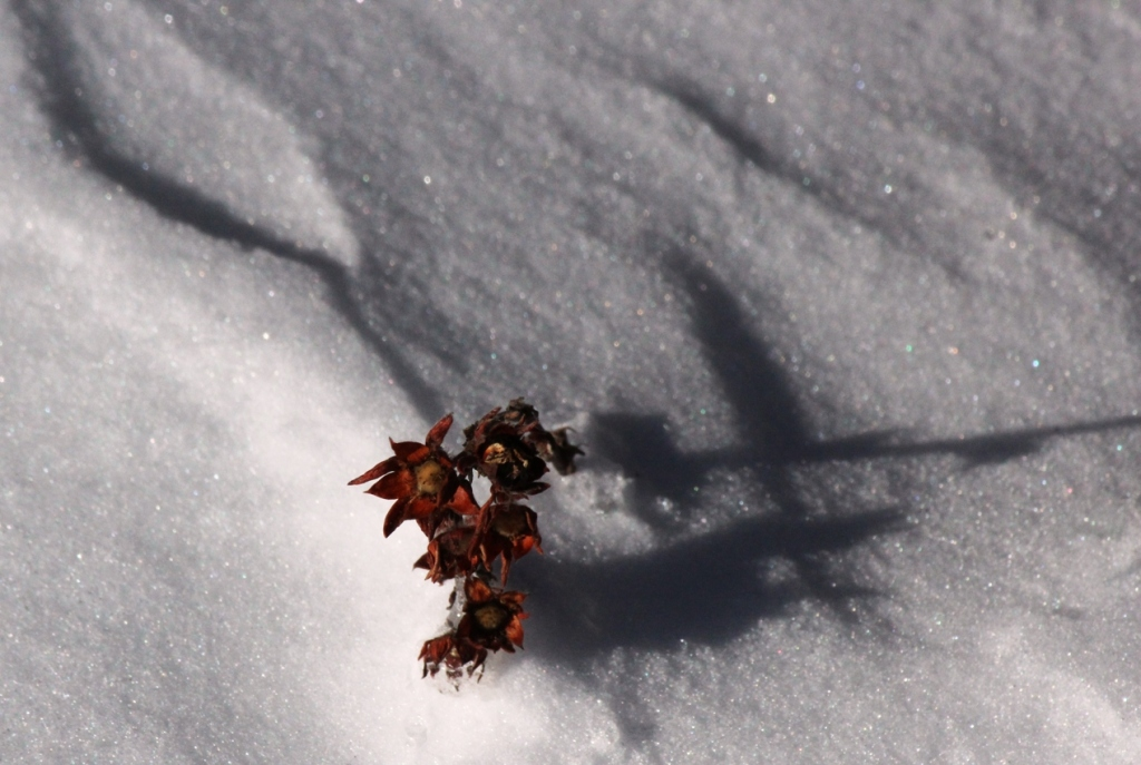cinquefoil in snow
