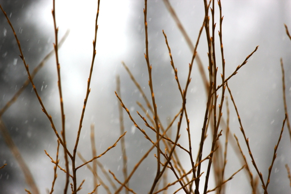willow branches in snow