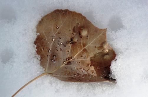aspen leaf in warm snow