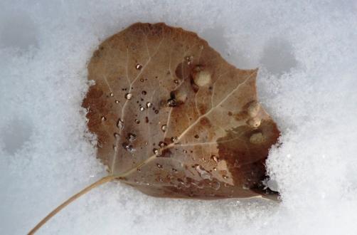 aspen leaf in warm snow