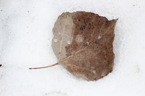leaf in spring snow