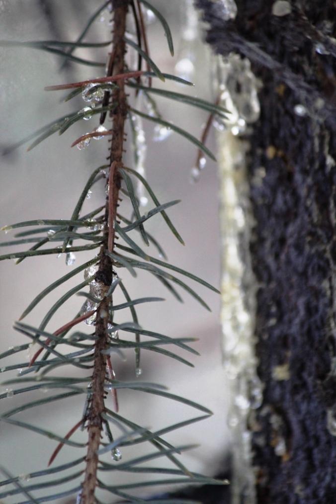 new sap on still green needles