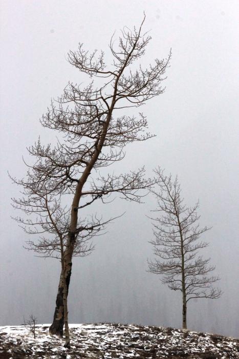 aspen in spring snow