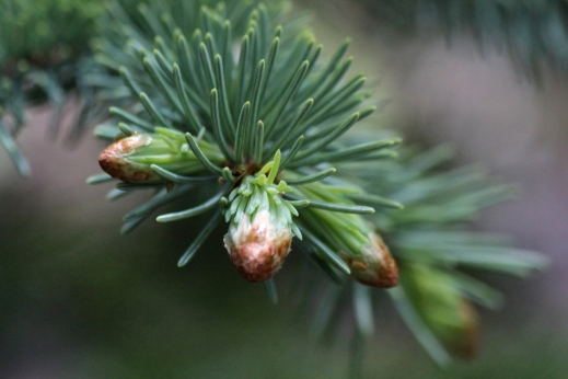 new growth on spruce tree