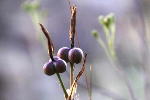 seeds at buta