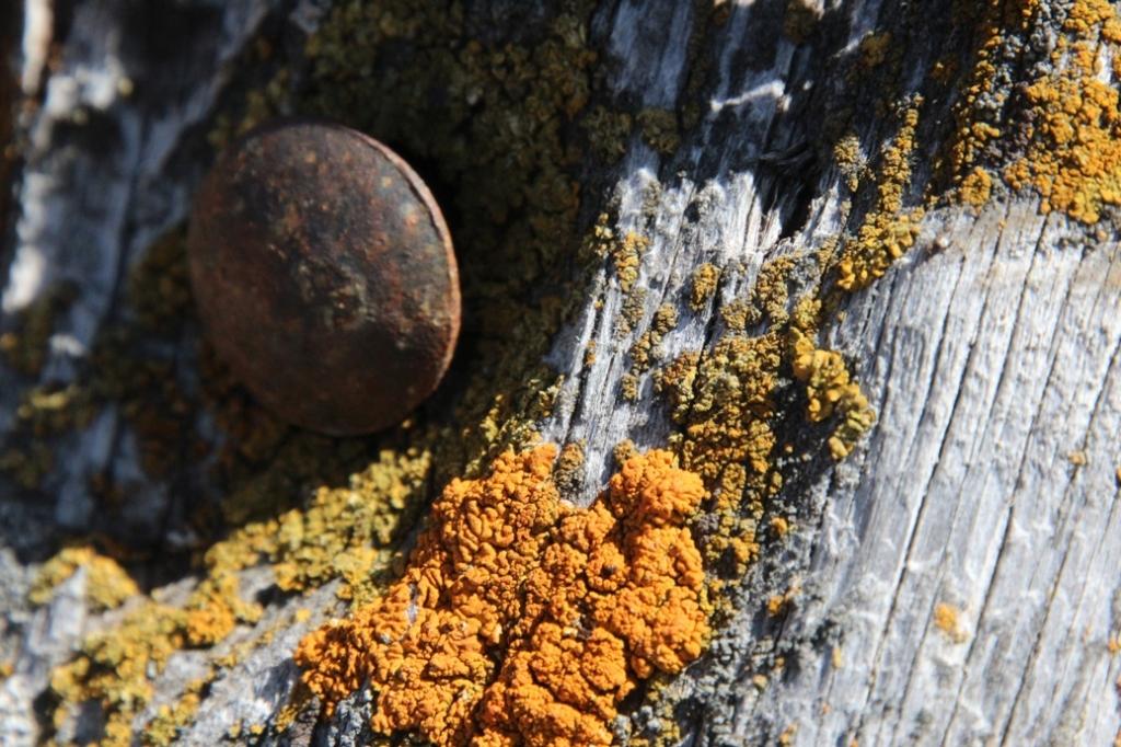 spike and lichen on cedar post