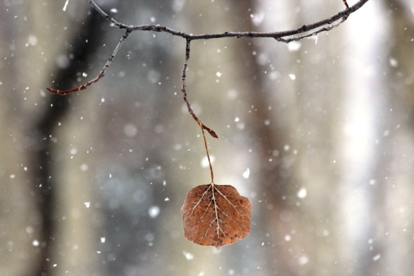 old leaf in new snow