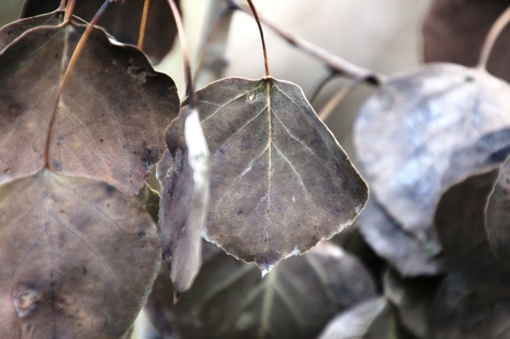 grey leaves