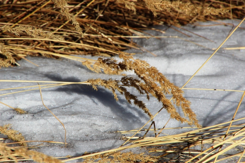 tall grass and shallow snow